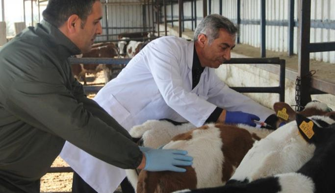 Büyükbaş hayvanlarda şap aşılama kampanyası uzatıldı