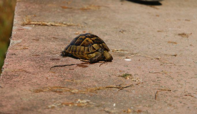 Denize düşen kara kaplumbağası kurtarıldı
