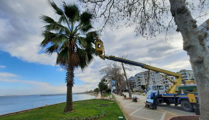 Palmiyeler kışlık bakıma alındı