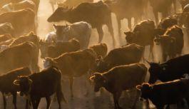 Hayvancılık yatırımlarına %50 hibe desteği