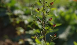 Endemik Bitkiler, Çobankale mevkiine dikildi