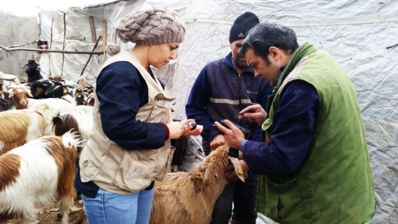 Koyun ve keçiler kimliklendiriliyor