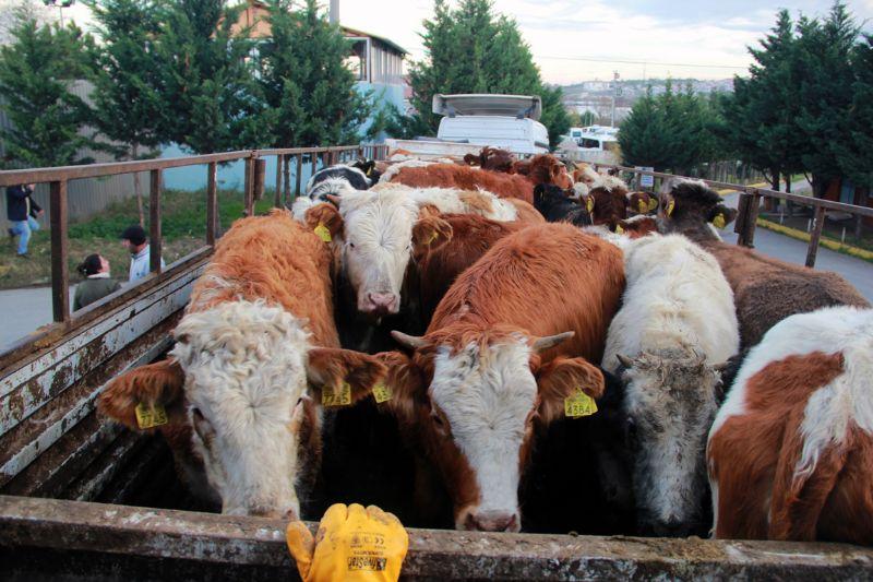 198 büyükbaş hayvan Genç Çiftçilere dağıtıldı
