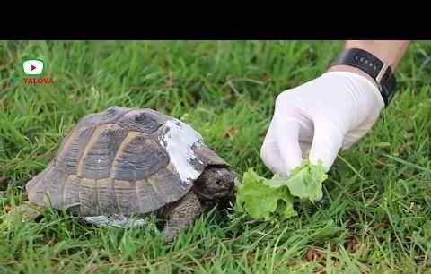 Kaplumbağanın evi tamir edildi